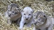 白狮虎首次诞生一胎四雄性 成最稀有狮虎兽种类