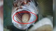 農村石頭上莫名出現的鐵絲,看到千萬不要碰,這可能是一種寄生蟲