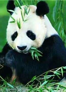 熊猫宝宝可爱集合
